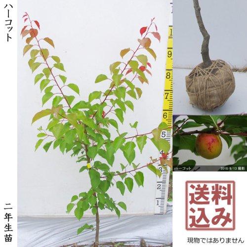 【予約商品】3年生苗◇アンズ(杏) ハーコット[地掘苗 2019年:L]