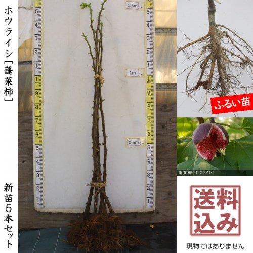 【予約商品】新苗5本セット◇イチジク(無花果) ホウライシ(蓬莱柿)在来種[ふるい苗]【受付12月末まで】