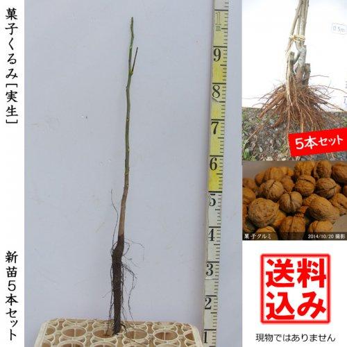 ナッツ類 クルミ(胡桃) 菓子くるみ 新苗5本セット[ふるい苗]【受付12月末まで】