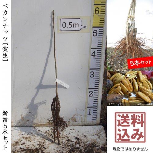ナッツ類 ペカンナッツ 新苗5本セット[ふるい苗]【受付12月末まで】