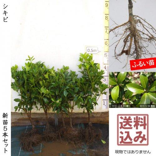 新苗5本セット◇常緑樹 シキビ・シキミ(樒) 仏花[ふるい苗]【受付11月末まで】