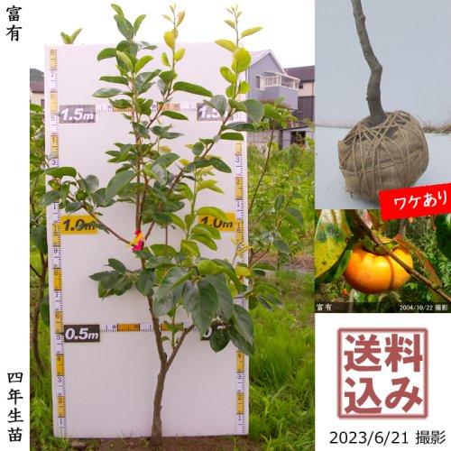 カキ(甘柿) 富有(ふゆう) 新苗[ふるい苗]記念樹お助けセット付き