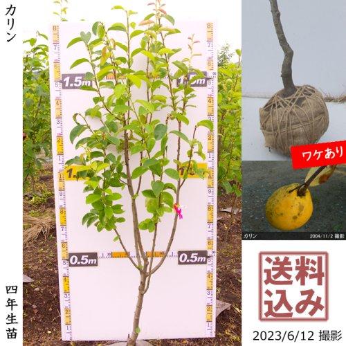 カリン(花梨) 新苗[ふるい苗]記念樹お助けセット付き【春発送】