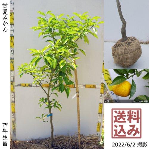 柑橘類 甘夏みかん 新苗[ふるい苗]記念樹お助けセット付き