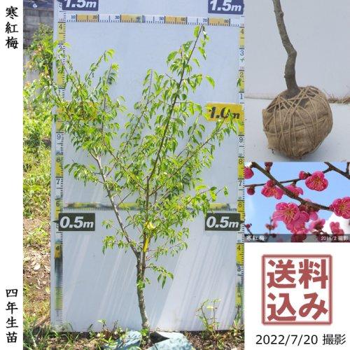 ウメ(花梅) 寒紅梅(かんこうばい) 新苗[ふるい苗]記念樹お助けセット付き