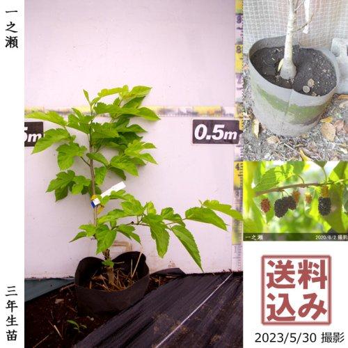 柑橘類 レモン(檸檬) ユーレカ[スリットポット苗 2014年:特小]〜実付実績〜