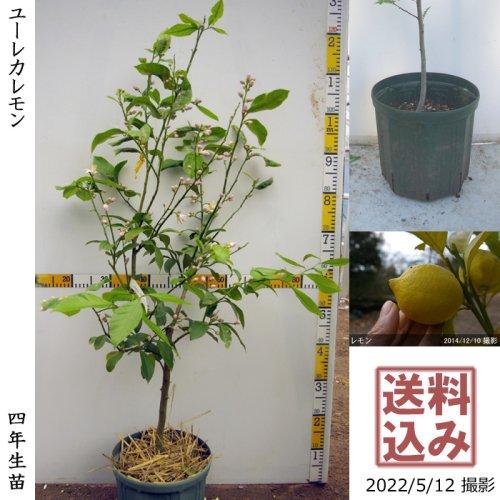 2年生苗◇柑橘類 レモン(檸檬) ユーレカ[スリットポット苗 2019年:M]