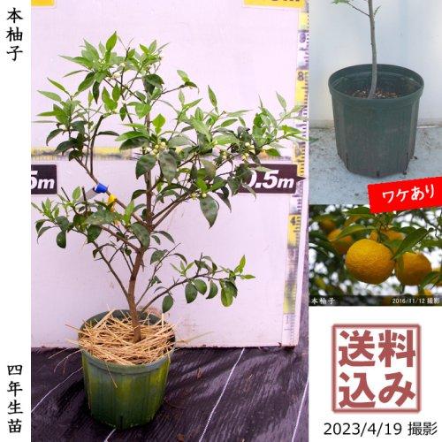 3年生苗◇柑橘類 本柚子(ほんゆず)[スリットポット苗 2018年:M]