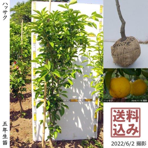 3年生苗◇柑橘類 ハッサク(八朔)[地掘苗 2017年:LL]