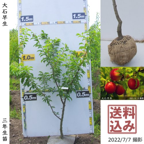 柑橘類 本柚子(ほんゆず)[地堀苗 2016年:特大]◆根回し済◆