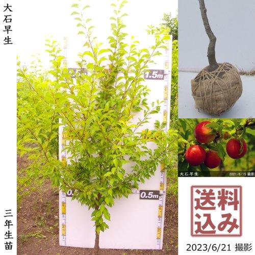 スモモ(李 プラム) 紅スモモ[ふるい苗]記念樹お助けセット付き