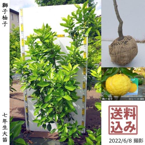 柑橘類 獅子柚子(ししゆず・おにゆ)[地堀苗 2014年:特大]◆ワケあり