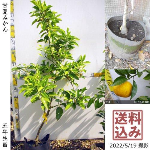 柑橘類 獅子柚子(ししゆず・おにゆ)[地堀苗 2016年:特大]
