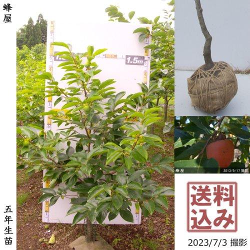 大苗◇カキ(渋柿)蜂屋(はちや)[地掘苗 2016年:M]〜実付実績〜
