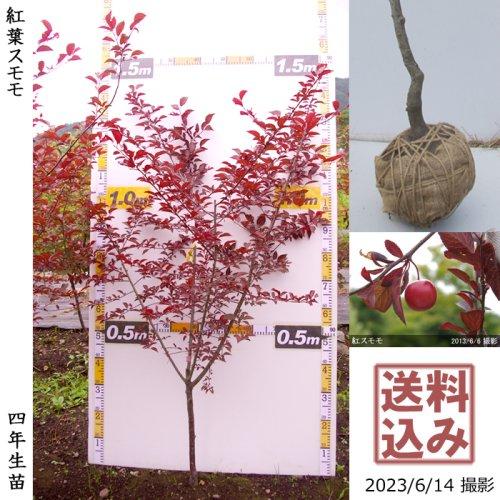 【予約商品】3年生苗◇アンズ(杏) ハーコット[地掘苗 2019年:M]