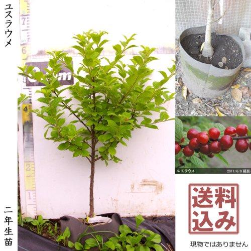 2年生苗◇ユスラウメ(山桜桃)[地掘苗 2018年:M]◆根回し済◆