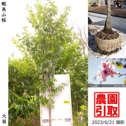 <img class='new_mark_img1' src='https://img.shop-pro.jp/img/new/icons14.gif' style='border:none;display:inline;margin:0px;padding:0px;width:auto;' />大苗◇サクラ(桜)蝦夷山桜(エゾヤマザクラ)[地掘苗:3L]*農園引取のみ◆根回し済◆