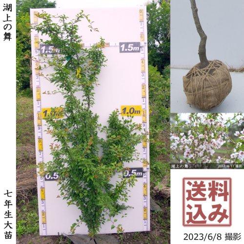 サクラ(桜) 関山(カンザン)八重桜[地掘苗 2017年:小(cutあり)]