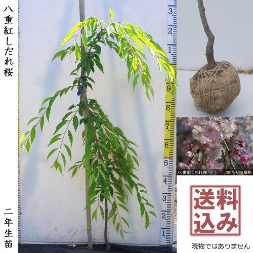サクラ(桜)染井吉野(ソメイヨシノ)[地掘苗 2017年:大]