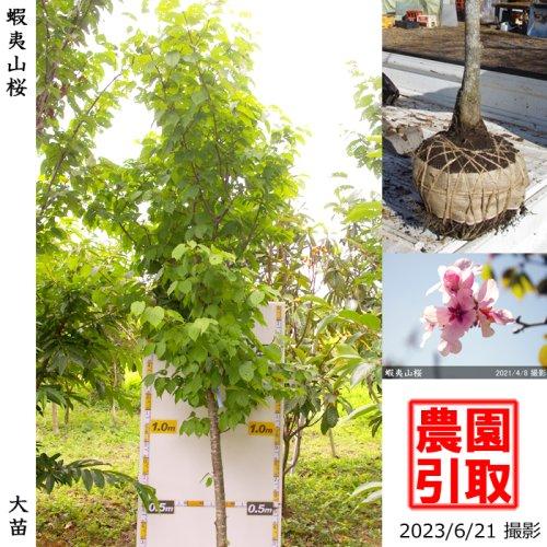 大苗◇サクラ(桜)染井吉野(ソメイヨシノ)[地掘苗 2018年:S]
