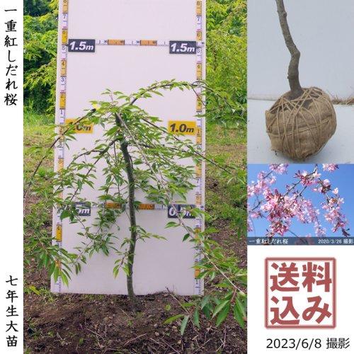 大苗◇サクラ(桜) 一重紅しだれ桜[地掘苗 2016年:L]*農園引取のみ