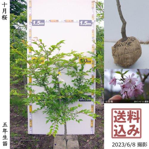 大苗◇サクラ(桜)十月桜(ジュウガツザクラ)[地掘苗 2017年:M]◆根回し済◆