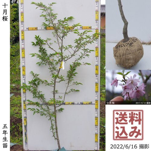 大苗◇サクラ(桜)十月桜(ジュウガツザクラ)[地掘苗 2018年:S]
