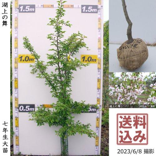 大苗◇サクラ(桜)豆桜[湖上の舞](マメザクラ・コジョウノマイ)[地堀苗 2017年:S]