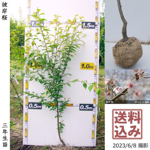 【予約商品】2年生苗◇サクラ(桜)彼岸桜(ヒガンザクラ)[地掘苗 2020年:S]