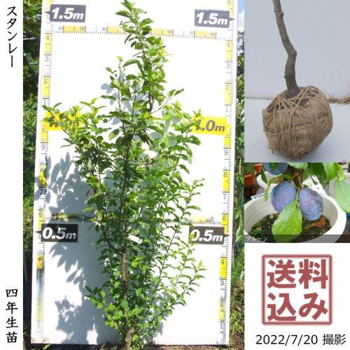 大苗◇プルーン(西洋スモモ)シュガー[地掘苗 2017年:M]