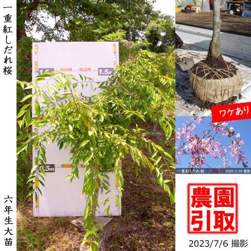 大苗◇サクラ(桜) 一重紅しだれ桜[地掘苗 2017年:L]