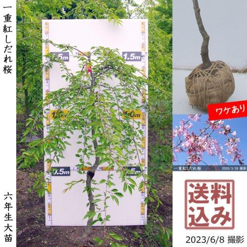 サクラ(桜) 一重紅しだれ桜[地掘苗 2016年:大]*農園引取のみ