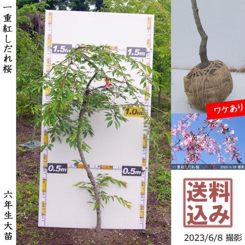 サクラ(桜) 一重紅しだれ桜[地掘苗 2016年:中(樹高low)]◆ワケあり