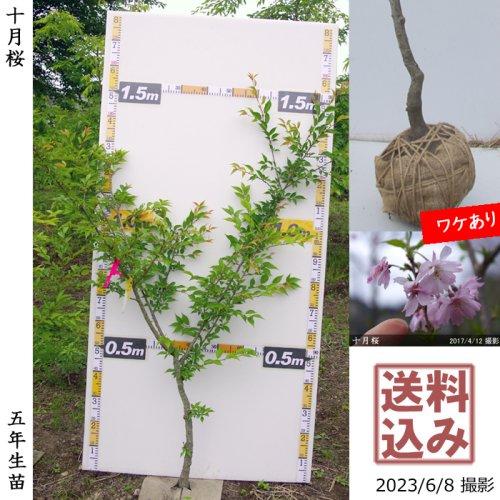 2年生苗◇サクラ(桜)十月桜(ジュウガツザクラ)[地掘苗 2018年:S]◆根回し済◆