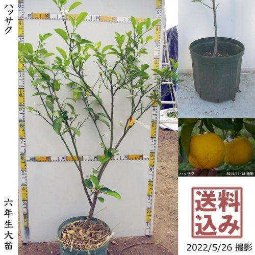 大苗◇柑橘類 ハッサク(八朔)[NPポット苗 2017年:L]