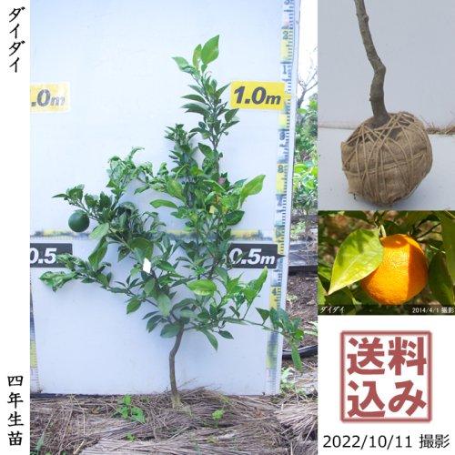 新入荷◆3年生苗◇柑橘類 ダイダイ(橙)[地掘苗 2018年:L]