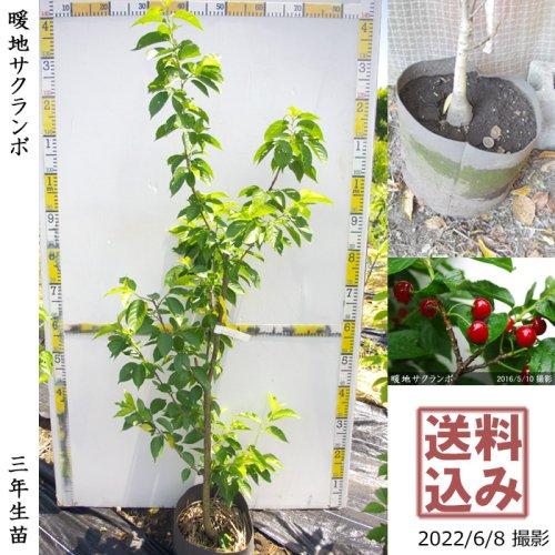 2年生苗◇サクランボ(桜桃)暖地さくらんぼ[地掘苗 2019年:L]◆根回し済◆