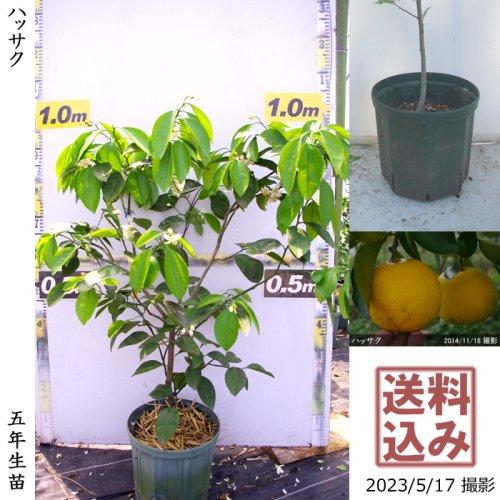 2年生苗◇柑橘類 ハッサク(八朔)[スリットポット苗 2019年:M]