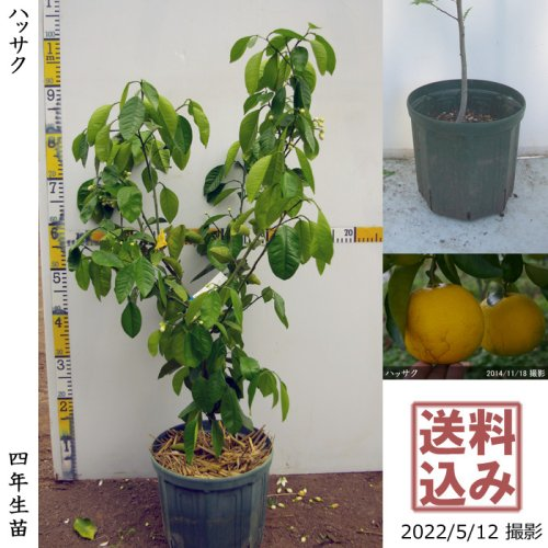 3年生苗◇柑橘類 ハッサク(八朔)[スリットポット苗 2019年:S]