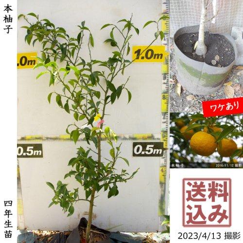 3年生苗◇柑橘類 本柚子(ほんゆず)[地中ポット苗 2019年:S]