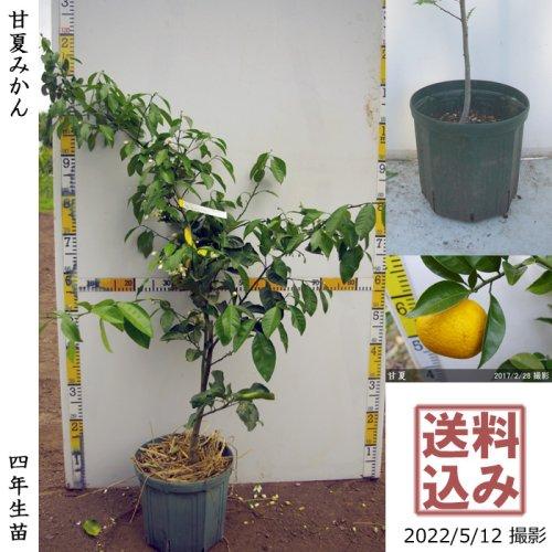3年生苗◇柑橘類 甘夏みかん[スリットポット苗 2019年:S]