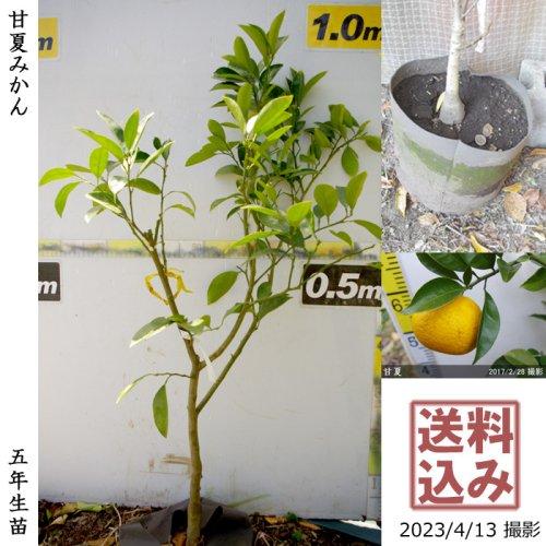大苗◇柑橘類 甘夏みかん[地中ポット苗 2018年:S]