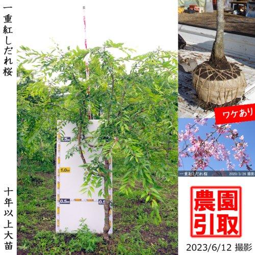 2年生苗◇サクラ(桜)啓翁桜(ケイオウザクラ)[地掘苗 2019年:L]