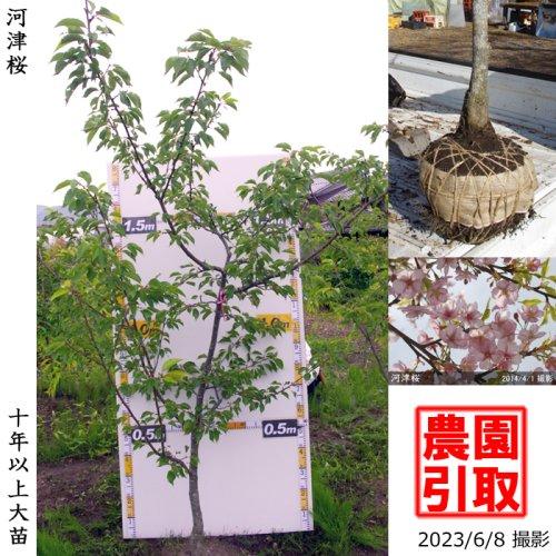 大苗◇サクラ(桜) 河津桜(カワヅザクラ)[地掘苗 2014年:S]◆ワケあり◆根回し済◆