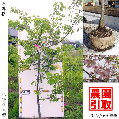 2年生苗◇サクラ(桜) 河津桜(カワヅザクラ)[地掘苗 2018年:M]