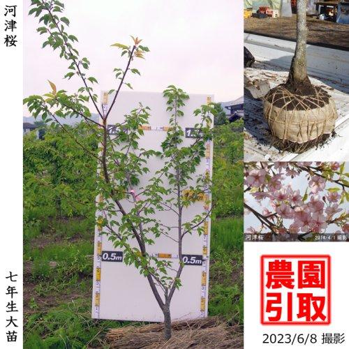 大苗◇サクラ(桜) 河津桜(カワヅザクラ)[地掘苗 2016年:L]◆根回し済◆