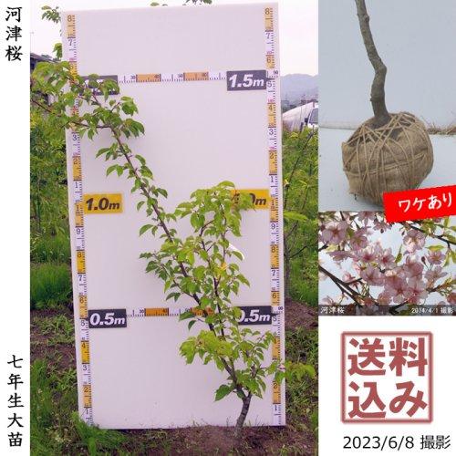 大苗◇サクラ(桜) 河津桜(カワヅザクラ)[地掘苗 2017年:L]◆根回し済◆