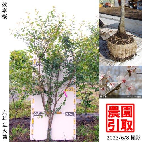 大苗◇サクラ(桜)彼岸桜(ヒガンザクラ)[地掘苗 2017年:3L(樹高high)]*農園引取のみ