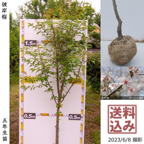 2年生苗◇サクラ(桜)彼岸桜(ヒガンザクラ)[地掘苗 2018年:M]