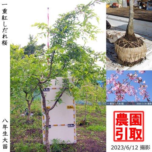 大苗◇サクラ(桜) 一重紅しだれ桜[地掘苗 2016年:3L(樹高high)]*農園引取のみ